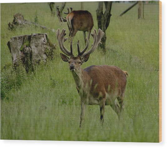 Stag Of The Herd. Wood Print