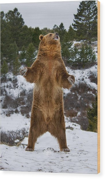 Standing Grizzly Bear Wood Print