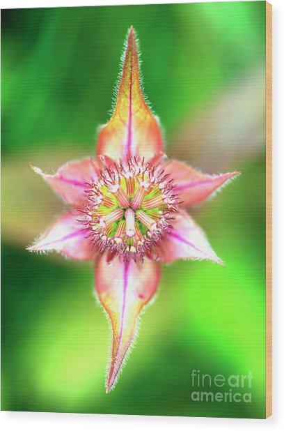 Star In Lurie Garden Wood Print by John Rizzuto