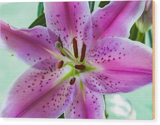 Stargazer Oriental Lily Wood Print
