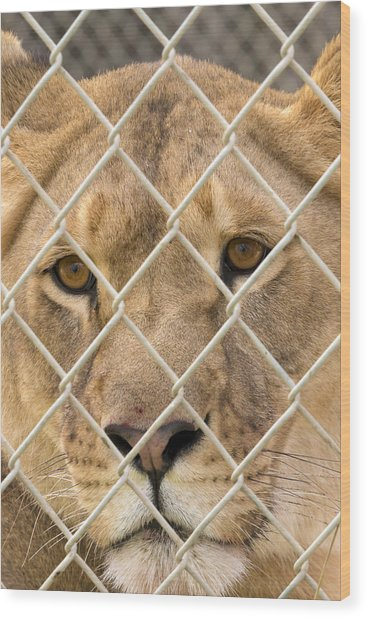 Staring Lioness Wood Print