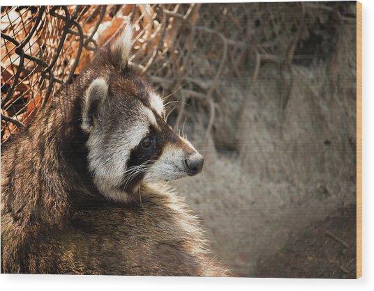 Staring Raccooon Wood Print