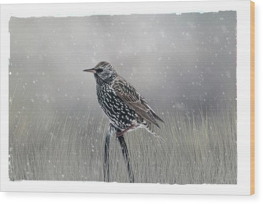 Starling In Winter Wood Print