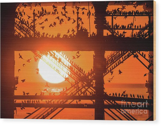 Starlings At Sunset Under Aberystwyth Pier Wood Print