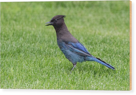 Steller's Jay On The Lawn Wood Print