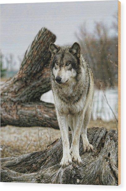 Still Wolf Wood Print