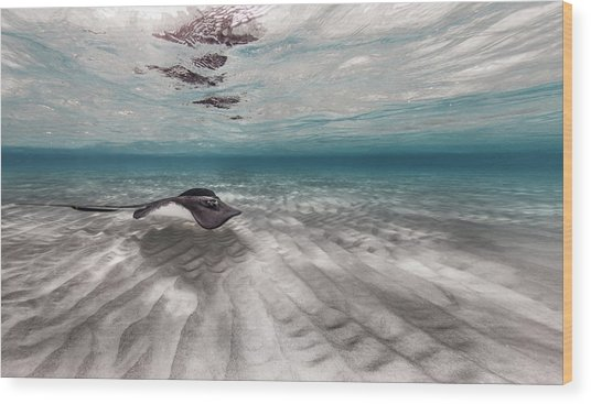 Stingray Across The Sand Wood Print