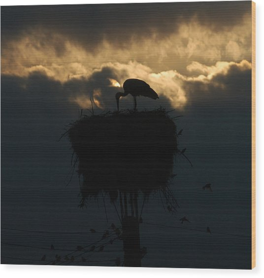 Stork With Evening Sun Light  Wood Print