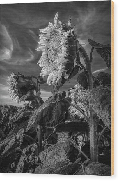 Strength Of A Sunflower Wood Print