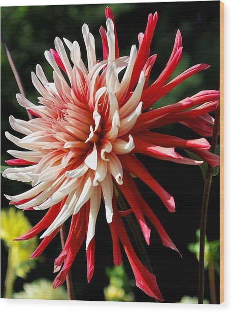 Striking Dahlia Red And White Wood Print