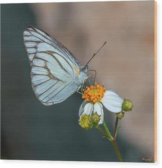 Striped Albatross Butterfly Dthn0209 Wood Print