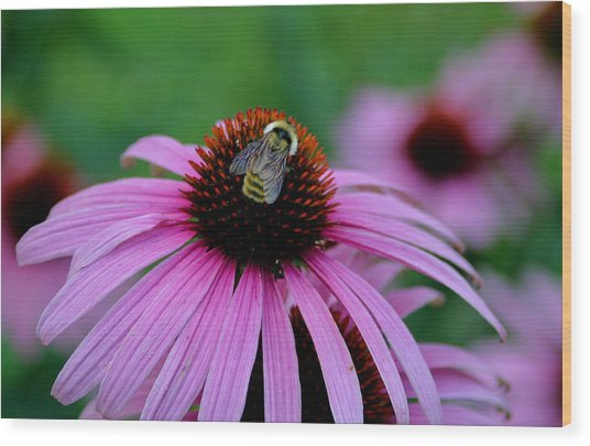 Striped Bumble Bee Wood Print by Martin Morehead