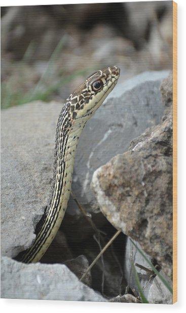 Striped Whipsnake, Masticophis Taeniatus Wood Print