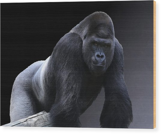 Strong Male Gorilla Wood Print