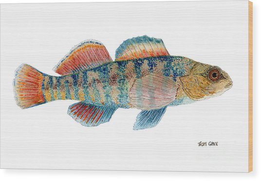 Study Of A Rainbow Darter Wood Print