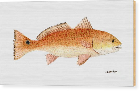 Study Of A Redfish  Wood Print