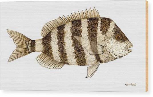 'study Of A Sheepshead' Wood Print