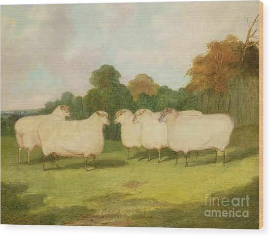 Study Of Sheep In A Landscape   Wood Print