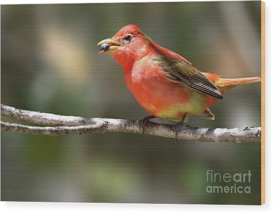 Stuffed Summer Tanager Wood Print