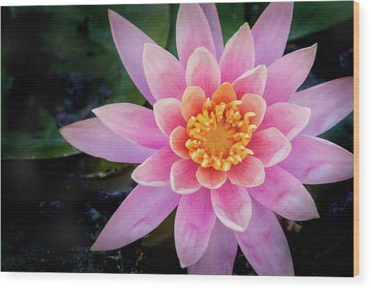 Stunning Water Lily Wood Print