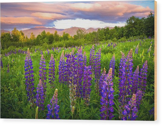 Sugar Hill Lupines Wood Print
