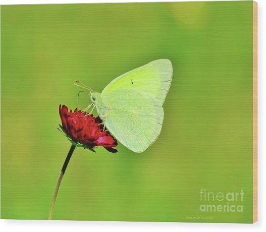 Sulphur Butterfly On Knautia Wood Print