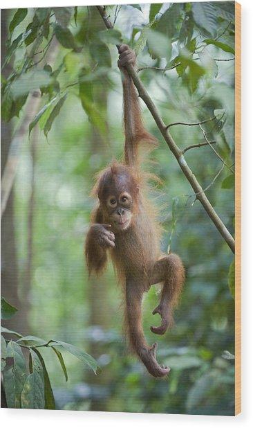 Sumatran Orangutan Pongo Abelii One Wood Print