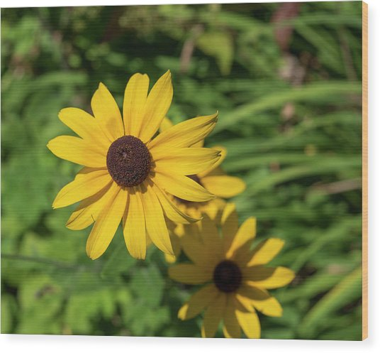 Sun Drenched Daisy Wood Print