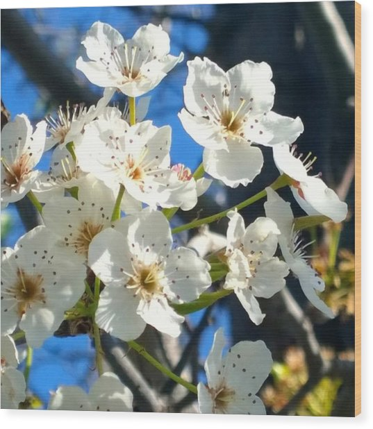 #sun Drenched #tree #blossoms So Sweet Wood Print