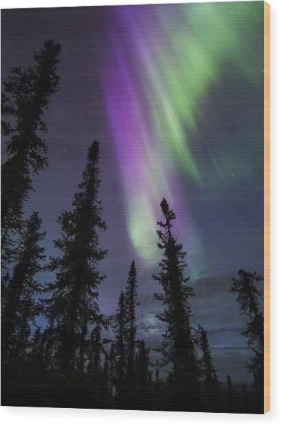 Sun-kissed Aurora Above The Spruces Wood Print