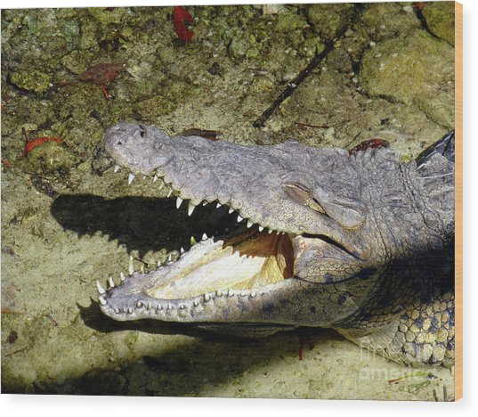 Sunbathing Croc Wood Print