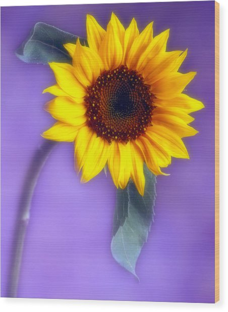 Sunflower 1 Wood Print by Joseph Gerges