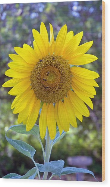 Sunflower 1 Wood Print by Mickie Boothroyd