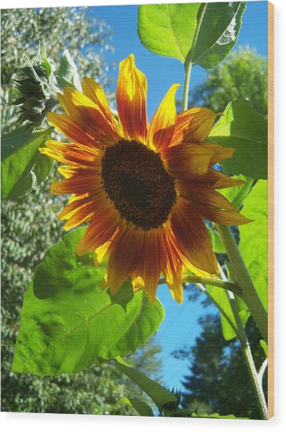 Sunflower 101 Wood Print by Ken Day
