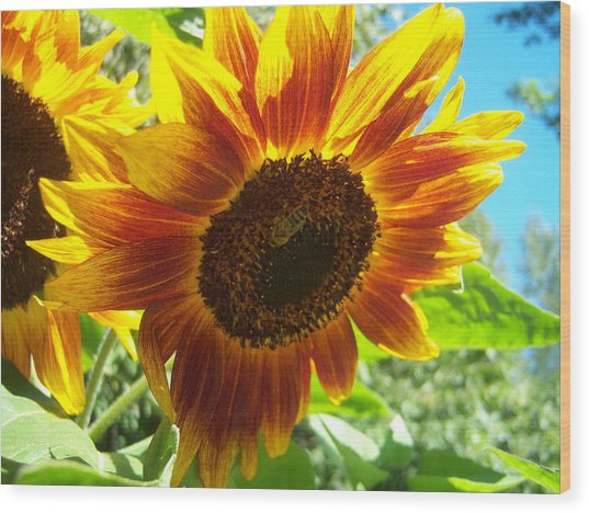 Sunflower 104 Wood Print by Ken Day
