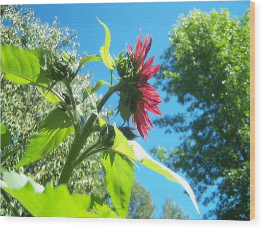 Sunflower 105 Wood Print by Ken Day