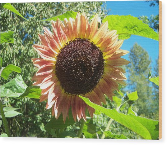 Sunflower 107 Wood Print by Ken Day