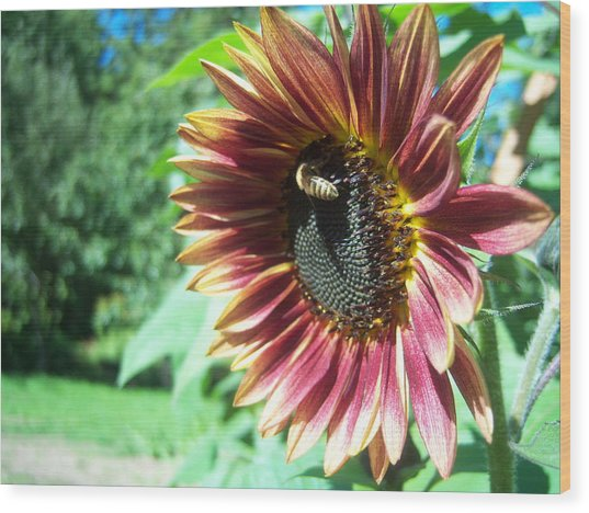 Sunflower 109 Wood Print by Ken Day
