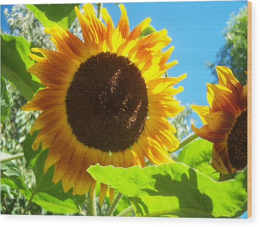 Sunflower 117 Wood Print by Ken Day