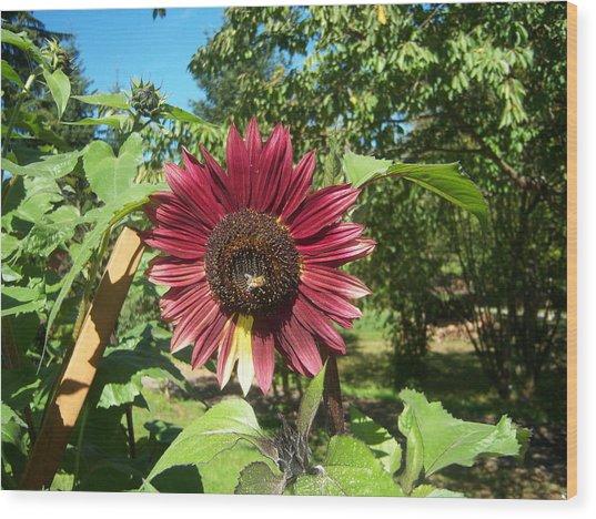 Sunflower 126 Wood Print by Ken Day