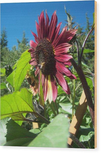 Sunflower 127 Wood Print by Ken Day