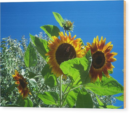 Sunflower 131 Wood Print by Ken Day
