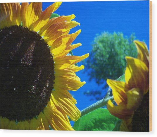Sunflower 138 Wood Print by Ken Day