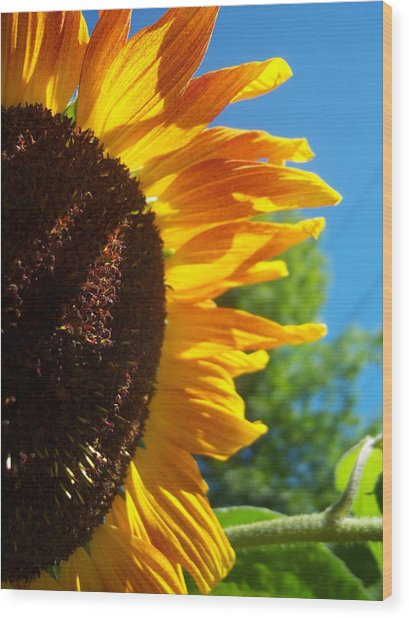 Sunflower 139 Wood Print by Ken Day