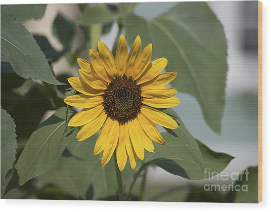 Sunflower 20120718_06a Wood Print