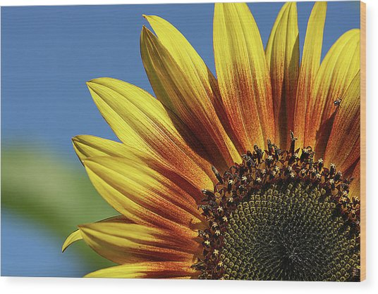 Sunflower 38 Wood Print