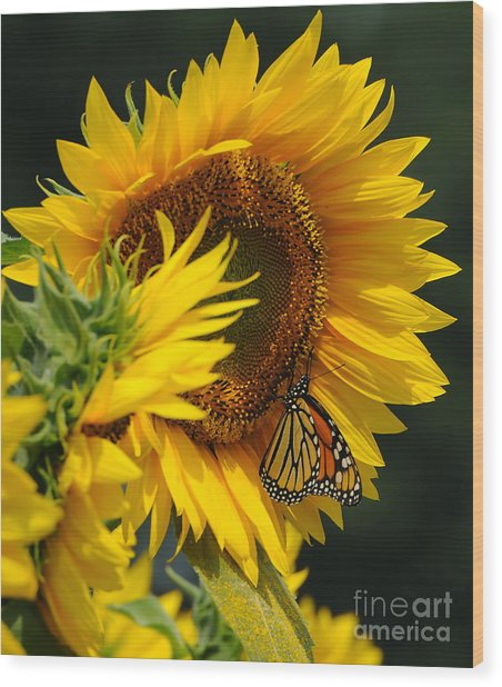 Sunflower And Monarch 3 Wood Print