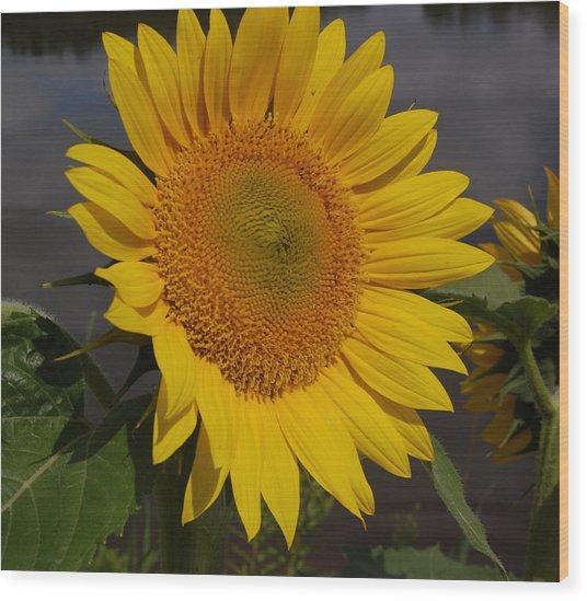 Sunflower Wood Print by Audrey Venute