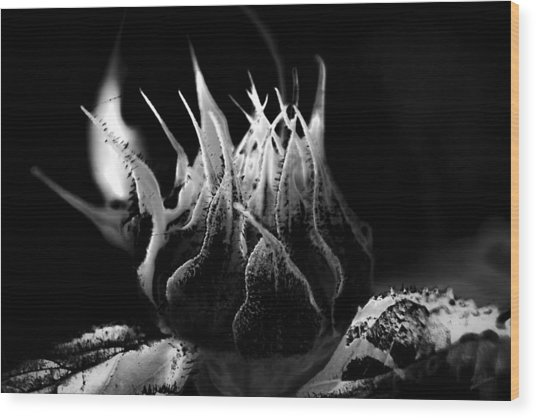 Sunflower Bud Abstract Wood Print