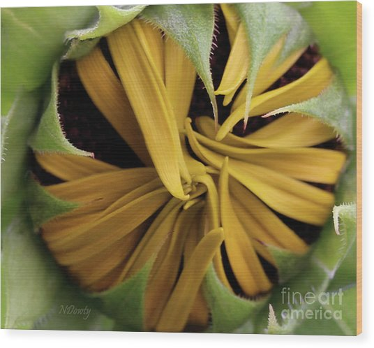 Sunflower Bud Wood Print